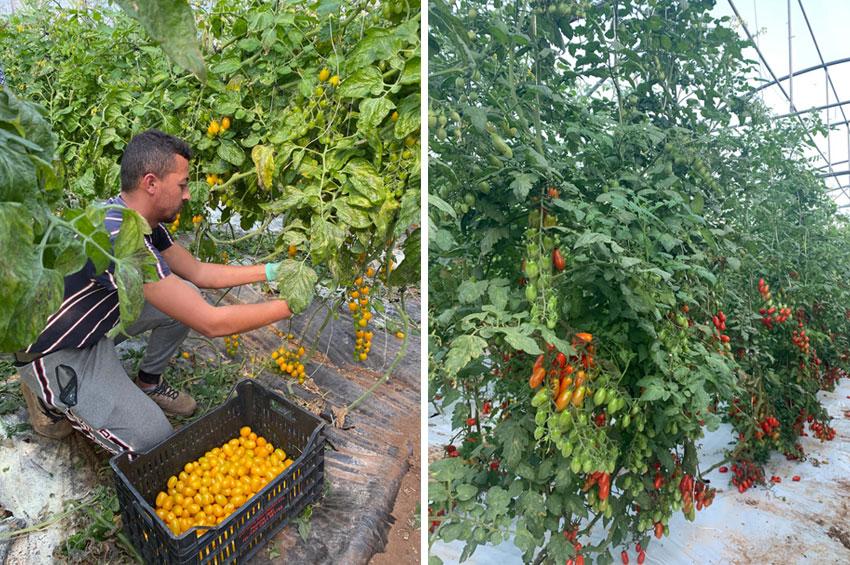 カラフルミニトマト ダッテリーニ